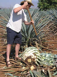 harvesting tequila agave
